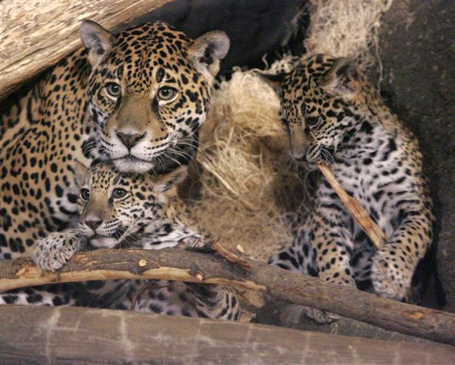 The jaguar cubs with are seen with their mother, Stella, last November.